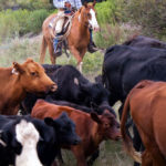 Man herding cattle